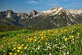 Alpine meadow with globeflowers with Birnhorn in Leogang Mountains in background, Berchtesgaden Alps, Salzburg, Austria