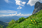 Alpine meadow with globeflowers with lake lago di Como in background, Grigna, Bergamasque Alps, Lombardy, Italy