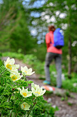 Alpine anemone with woman hiking out of focus in background, Val Maira, Cottian Alps, Piedmont, Italy