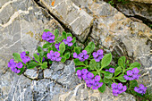 Pink primrose growing in rock gap, Val Maira, Cottian Alps, Piedmont, Italy