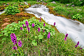 Pink orchid with stream in background, Val Maira, Cottian Alps, Piedmont, Italy