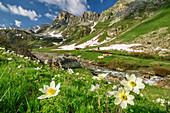 Blühende Alpenanemonen mit Cottischen Alpen im Hintergrund, Val Varaita, Cottische Alpen, Piemont, Italien
