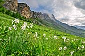 Blühende Narzissen mit Cottische Alpen im Hintergrund, Narcissus, Val Varaita, Cottische Alpen, Piemont, Italien