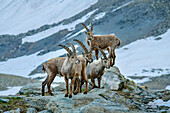 Several ibex standing in front of snow-covered mountains, Giro di Monviso, Monte Viso, Monviso, Cottian Alps, Piedmont, Italy