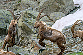 Two ibex fighting, Giro di Monviso, Monte Viso, Monviso, Cottian Alps, Piedmont, Italy