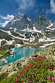 Alpine roses and blue mountain lake with Monviso in background, Giro di Monviso, Monte Viso, Monviso, Cottian Alps, Piedmont, Italy