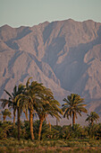 Palm trees in the Kavir desert, Iran, Asia