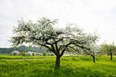 Flowering orchard meadow, near Salem, Lake Constance, Baden-Württemberg, German