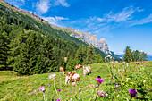 Kühe auf der Hochebene mit Schlern Gebirge, Compatsch, Seiser Alm, Südtirol, Italien