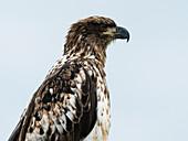 young bald eagle, Kenai Peninsula, Alaska, USA