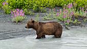 joung brown bear at a riverbank in Valdez, Alaska, USA