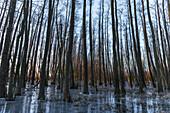 Winterlandschaft Wald im Moor zur Blauen Stunde nach Sonnenaufgang