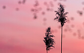 Schilfrohr Silhouette vor der roten untergehenden Sonne