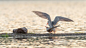 Common terns while mating at the nest