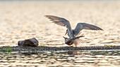 Fluss-Seeschwalben bei der Paarung am Nest