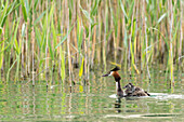 Great Crested Grebe with offspring on his back