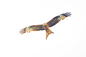 Red kite flies in the sky