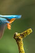 Dynamische Nahaufnahme vom Eisvogel wie er aus dem Bild fliegt
