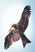 Red kite eats fish in the air