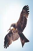 Rotmilan frisst Fisch in der Luft