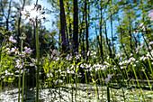 Wasserblumen in einem lichtdurchfluteten Sumpfgebietes