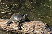 Rare European pond turtle (Emys orbicularis)