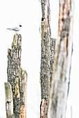 Single black-headed gull sits on dead tree