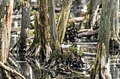Lachmöwe sitzt auf Nest und brütet im Moor