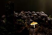 Luminous umbrella mushroom in the forest of the Spreewald