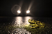 Toads on the streets and avenues of the Spreewald during road traffic