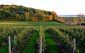 Wine field at Ottawa River, Quebec, Canada