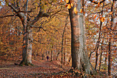 Autumn in a beech forest on the coast of the Baltic Sea island of Rügen island of Vilm, Germany Mecklenburg-Western Pomerania