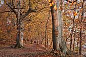 Herbst im Buchenwald auf der Insel Vilm, Insel Rügen; Ostseeküste; Mecklenburg-Vorpommern; Deutschland