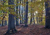 Herbstlicher Buchenwald; Insel Vilm; Insel Rügen; Mecklenburg-Vorpommern; Deutschland