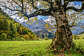 Mountain maple with Karwendel range in background, Grosser Ahornboden, Eng, Natural Park Karwendel, Karwendel range, Tyrol, Austria