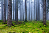 Spruce forest, Franconian Forest, Upper Franconia, Bavaria, Germany
