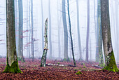 Dead beech, Spessart Nature Park, Lower Franconia, Bavaria, Germany