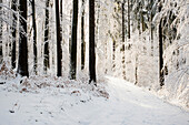 Snowy forest in winter, Höchsten, near Illwangen, Baden-Württemberg, Germany
