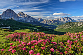 Alpine roses in blossom in front of Tofana and Monte Cristallo, Dolomites, UNESCO World Heritage Site Dolomites, Venetia, Italy