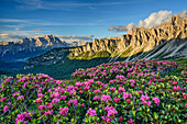 Blühende Alpenrosen vor Monte Cristallo und Croda di Lago, Dolomiten, UNESCO Welterbe Dolomiten, Venetien, Venezien, Italien