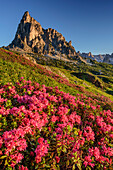 Alpine roses in blossom in front of Gusela, Dolomites, UNESCO World Heritage Site Dolomites, Venetia, Italy
