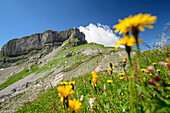 Meadow with flowers in front of Hoher Ifen, Hoher Ifen, Allgaeu Alps, valley of Walsertal, Vorarlberg, Austria
