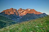 Blumenwiese mit Ecrins im Alpenglühen, Nationalpark Ecrins, Dauphine, Dauphiné, Hautes Alpes, Frankreich