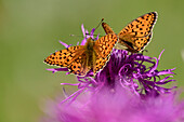Two Queen of Spain fritillaries sitting on blossom, Issoria lathonia, Dauphine, Dauphiné, Hautes Alpes, France