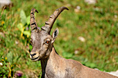 Young Capricorn, Vercors, Dauphine, Dauphine, Isère, France