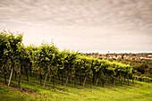 Wein Anbau mit Blick auf Kressbronn, Hopfen Anbaugebiet Tettnang, Bodensee, Baden-Württemberg, Deutschland