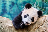 Portrait of giant panda cub (Ailuropoda melanoleuca) captive. Yuan Meng, first giant panda ever born in France, is now 10 months old, Zooparc de Beauval, Saint Aignan sur Cher, France.