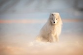 Arctic fox (Alopex lagopus), Billenfjorden, Pyramiden, Spitsbergen, Svalbard, Norway.