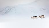 Svalbard reindeer (Rangifer tarandus platyrhynchus) in Spitsbergen.