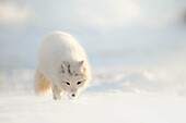 Arctic fox in Pyramiden,(Vulpes lagopus), Billefjorden, Spitsbergen, Svalbard.